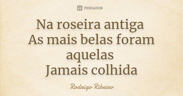 Na roseira antiga As mais belas foram aquelas Jamais colhida... Frase de Rodrigo Ribeiro.